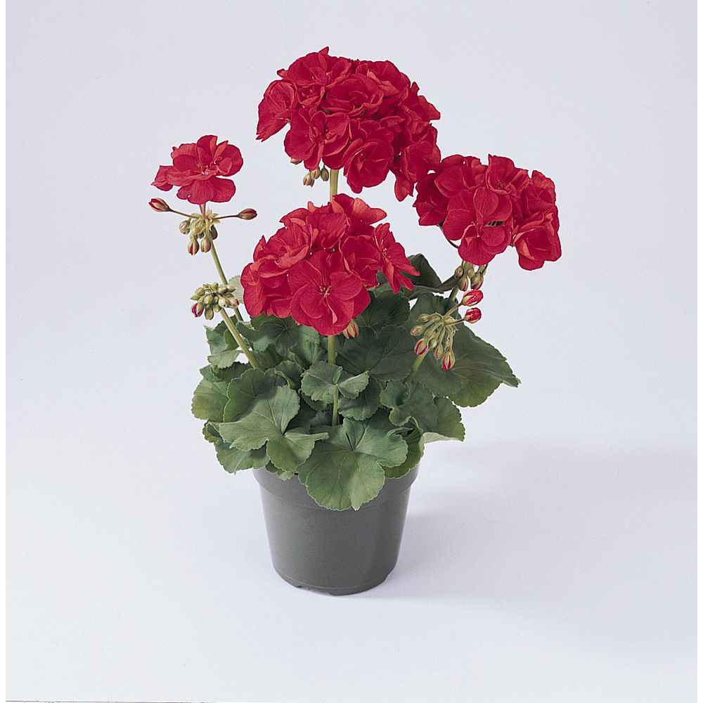 Canadian Valley Growers 3 1/2-inch PBS Seed Geranium