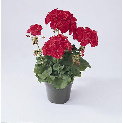 3 1/2-inch PBS Seed Geranium