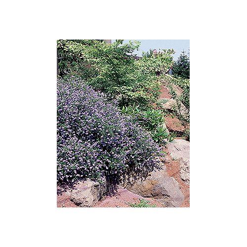 California Lilac 3g