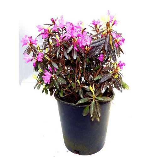2 Gal. PJM Rhododendron Bush