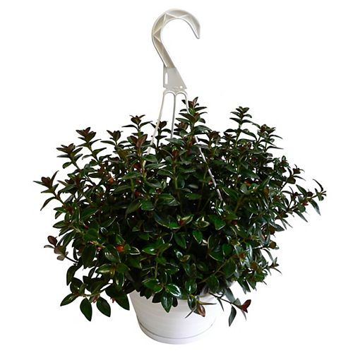 6.5-inch Goldfish Tropical Plant