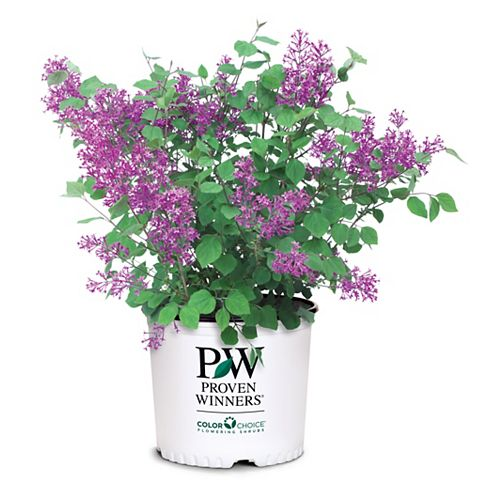 Dark Purple Lilac Bloomerang Plant
