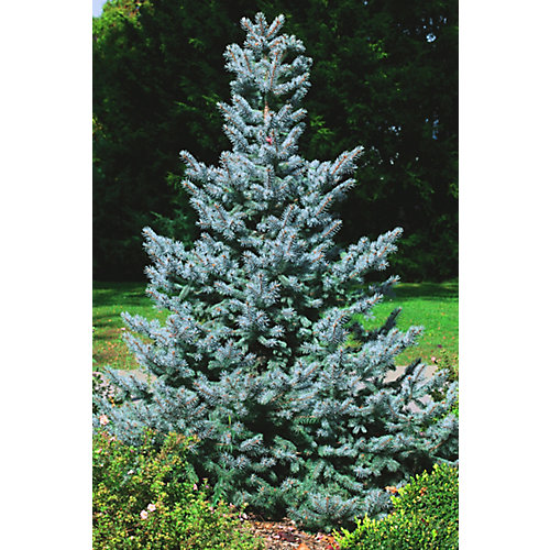 10 Gallon Baby Blue Spruce