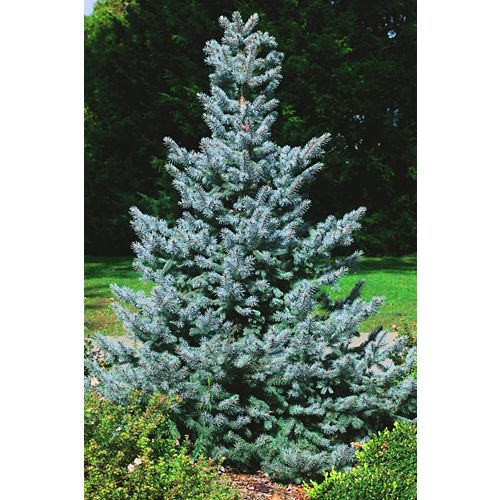10 Gallon Baby Blue Spruce