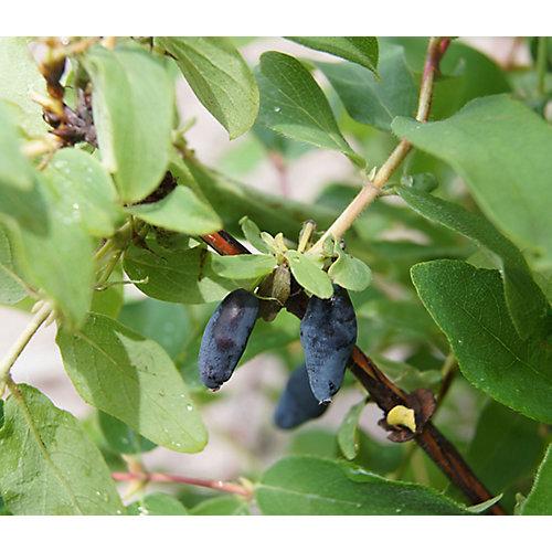 10-inch Vigoro Honeyberry 2 in 1 (Haskap) Fruit Plant