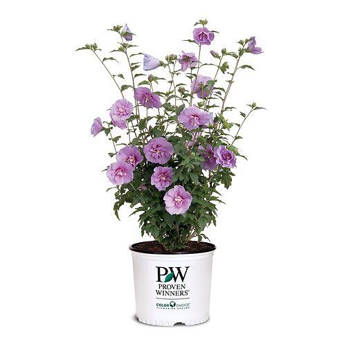 PW Lavender Chiffon Hibiscus