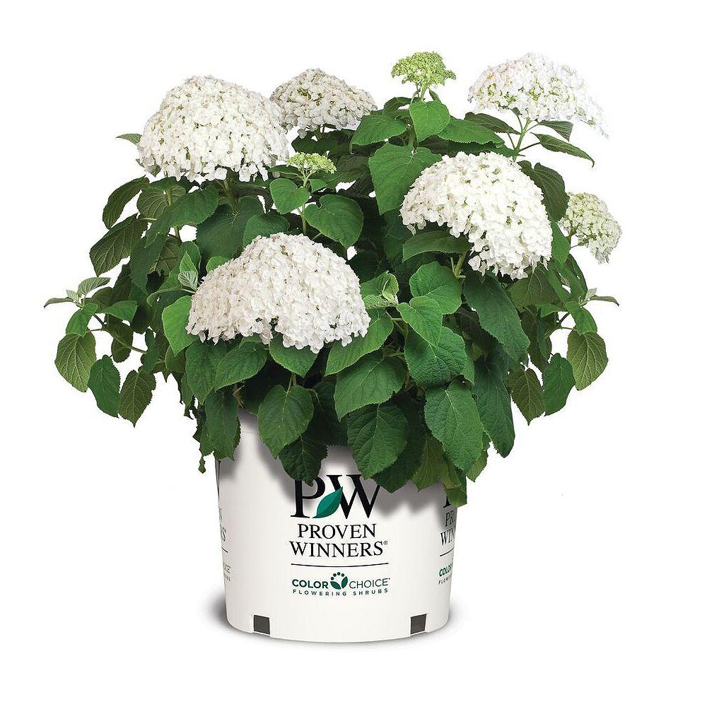 Proven Winners Hydrangea Incrediball Plant