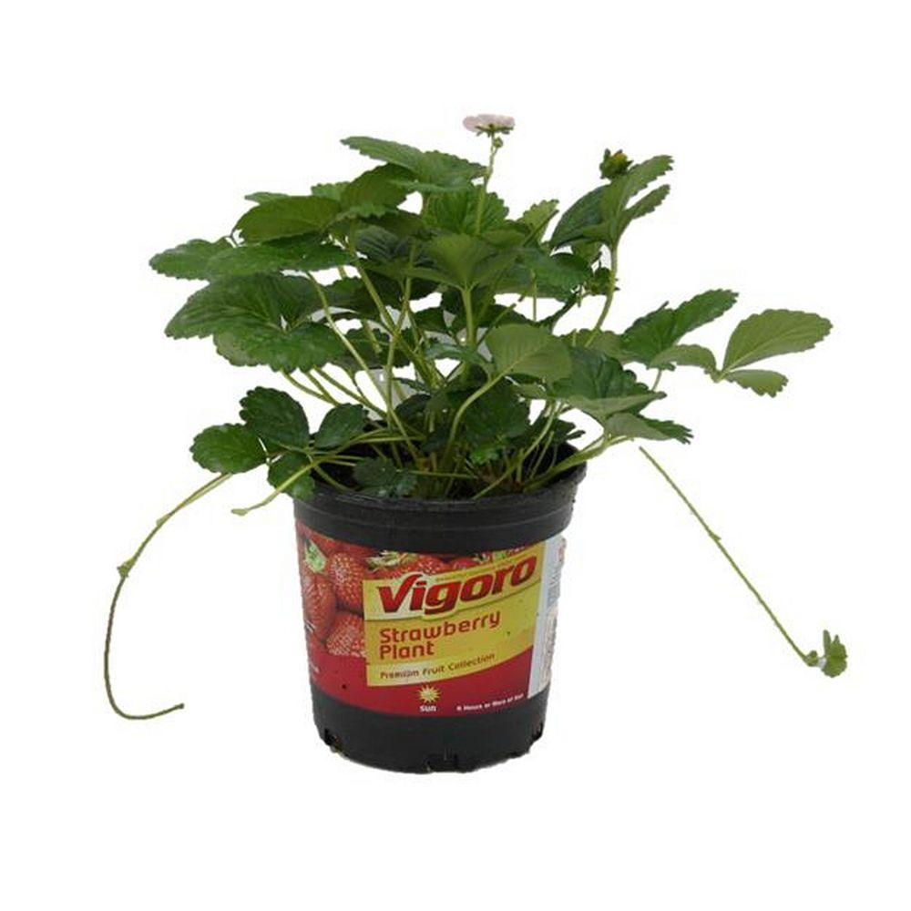 Vigoro 3.7L Strawberry