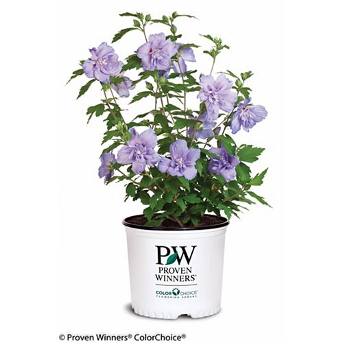 Proven Winners PW Hibiscus Blue Chiffon
