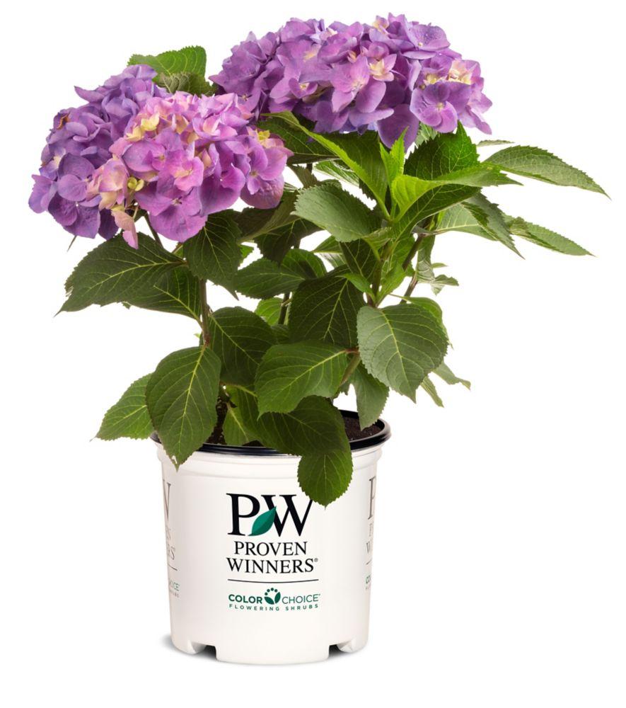 PW Hydrangea Let's Dance Blue Jangles #2 pot