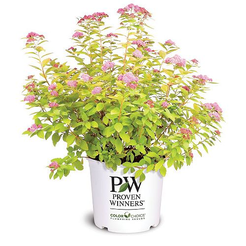 Proven Winners Double Play Big Bang Spirea Plant