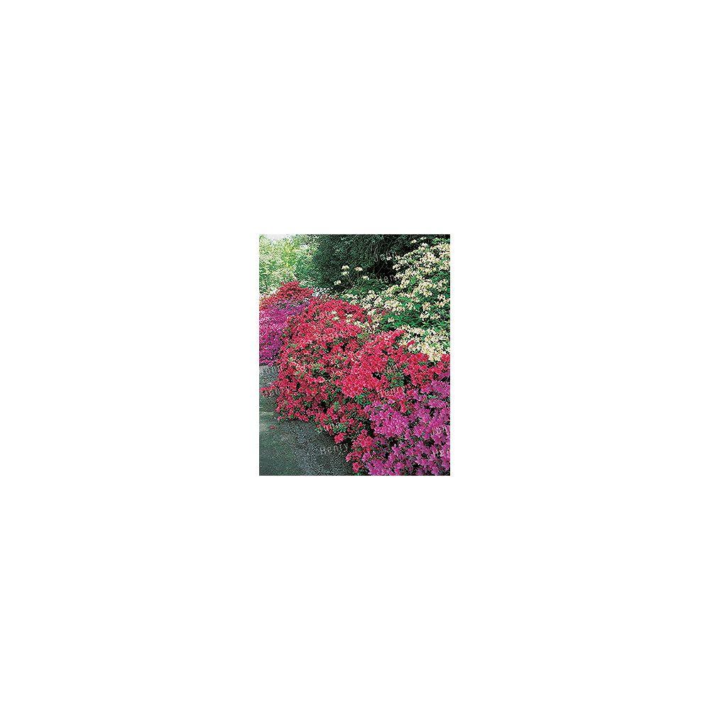 Vigoro 11.35L Azalea Flowering Bush