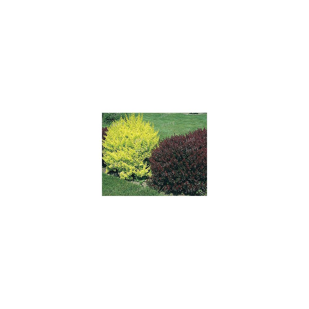 Vigoro 11L Berberis Shrub