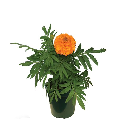 Marigold 3.5 Pouce