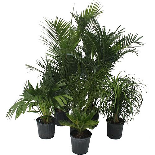 Palms Assorted 10 po