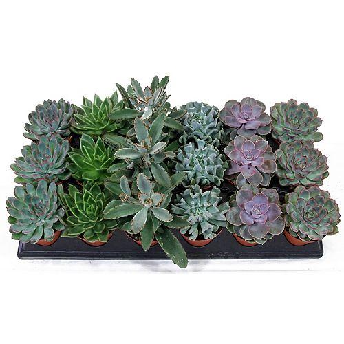 3.5-inch Succulent Asst