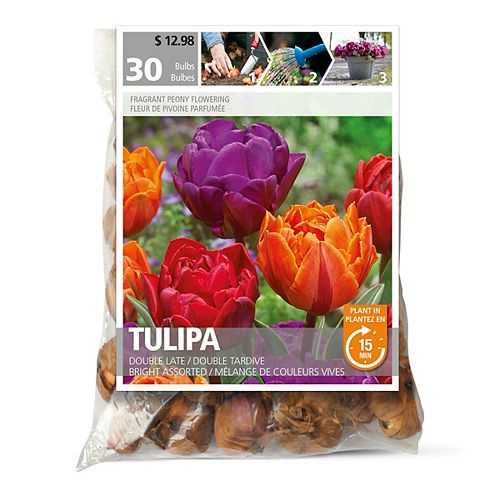 Tulip Double Late Bright