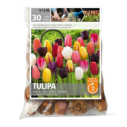 Tulip Single Late