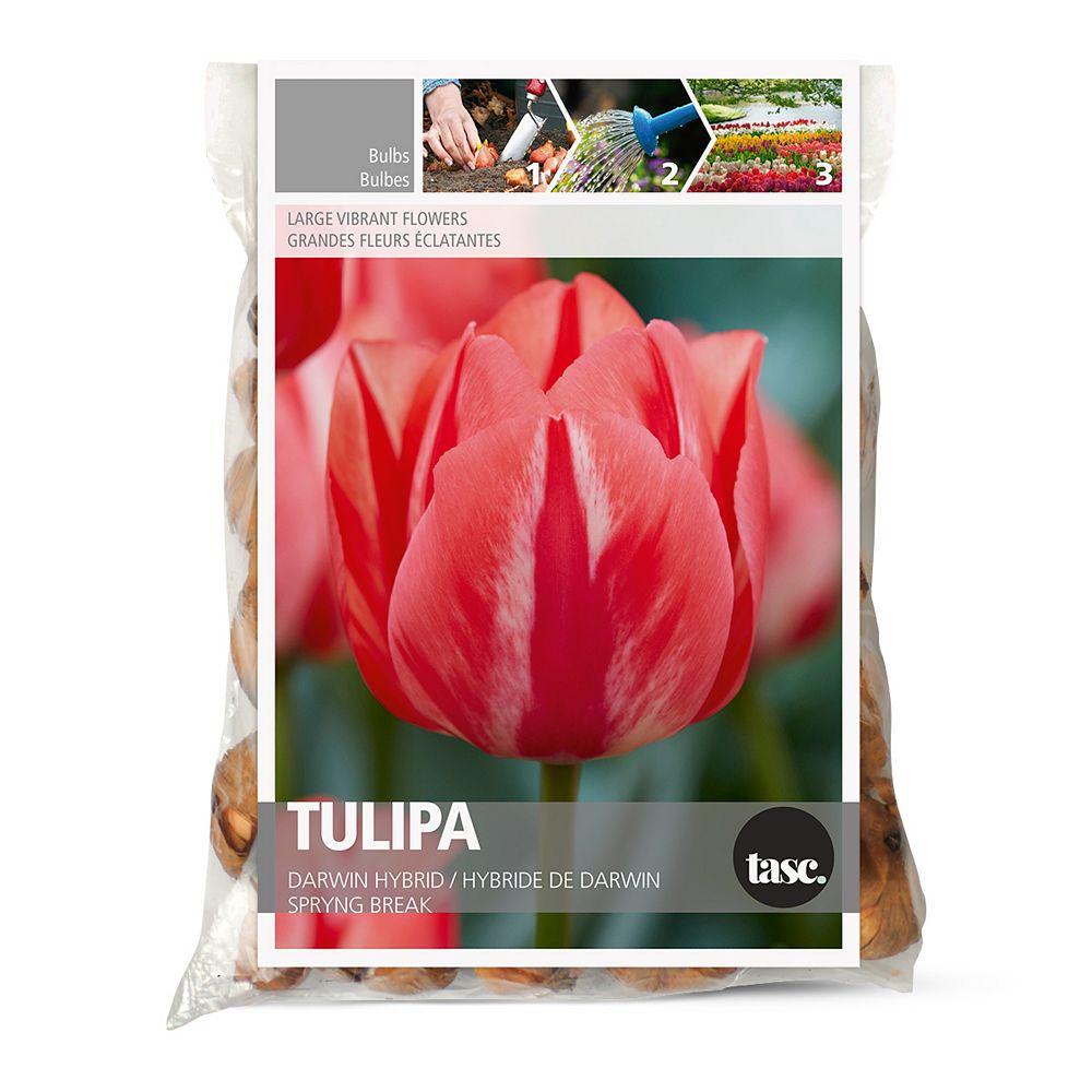 Bulbs are Easy Tulip Parrot Estella Flower Bulbs (20-Pack)