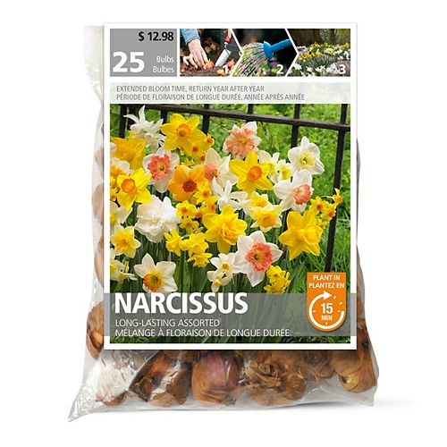 Narcissus Long Lasting
