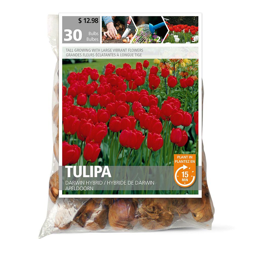 Bulbs are Easy Tulipe Darwin
