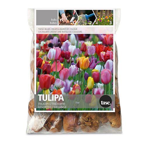 Tulip Triumph Flower Bulbs (30-Pack)