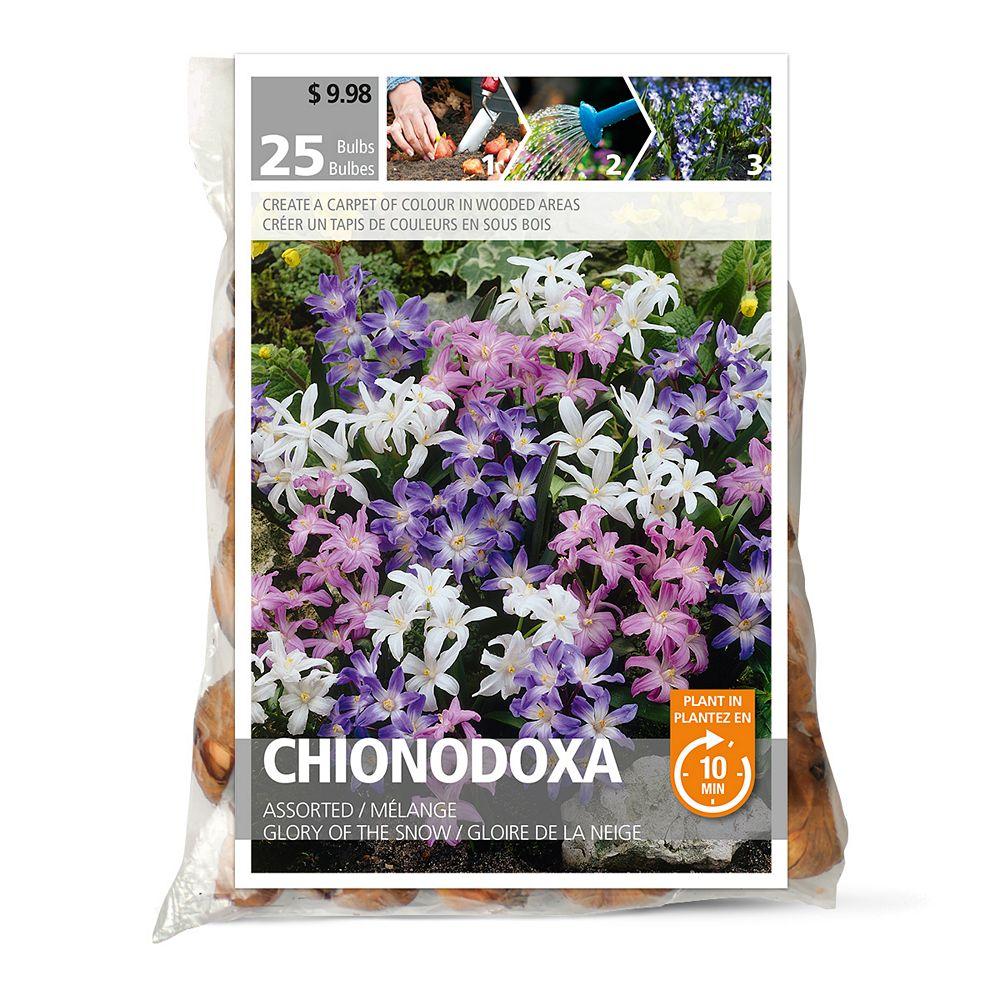 Bulbs are Easy Chionodoxa Assorted Flower Bulbs (25-Pack)