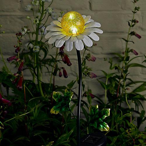 Lumière Solaire Sur Piquet  Marguerit
