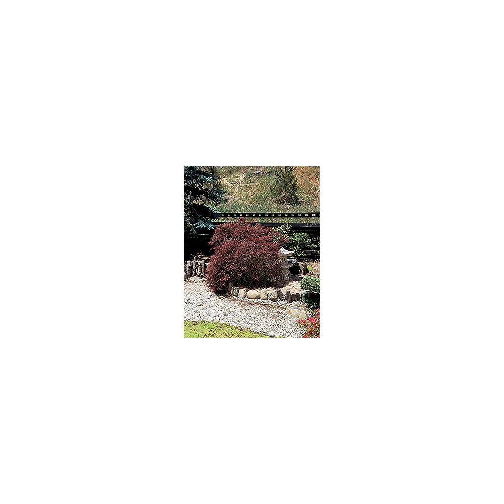 Landscape Basics 19L Japanese Fountain Maple Dwarf Tree