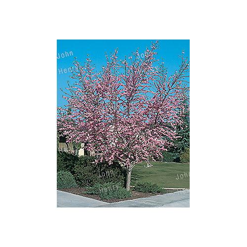 Peach Tree 7g