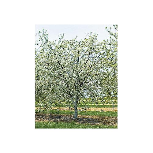 Cherry Tree 7g