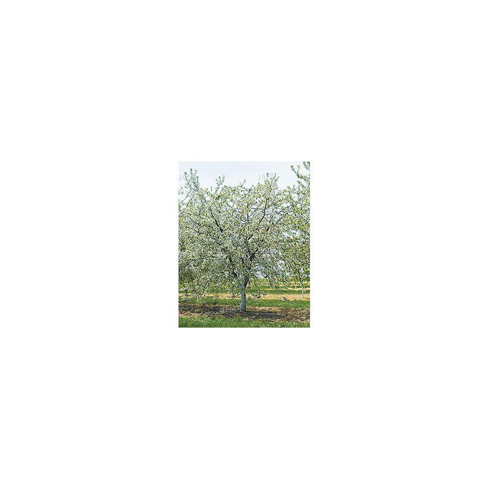 Landscape Basics 26.5L Cherry Tree