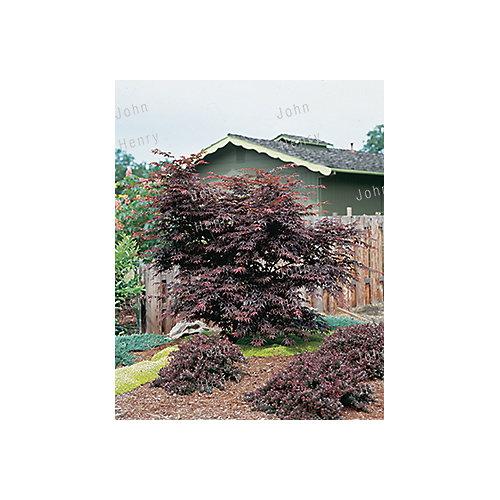 Japanese Upright Maple 5g