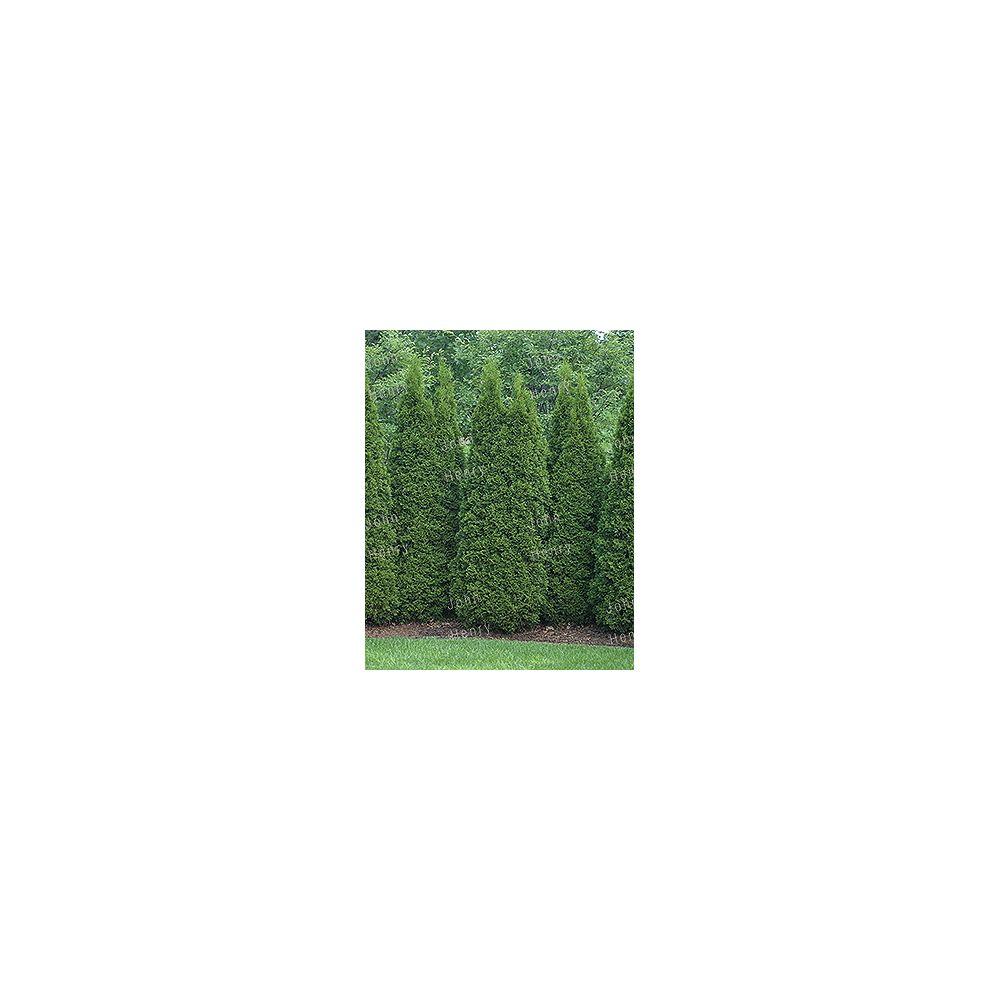 Vigoro 4-5 ft. Emerald Cedar Tree