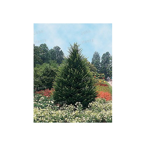 Landscape Basics 2 Gal. (7.5L) Taxus (Assorted)