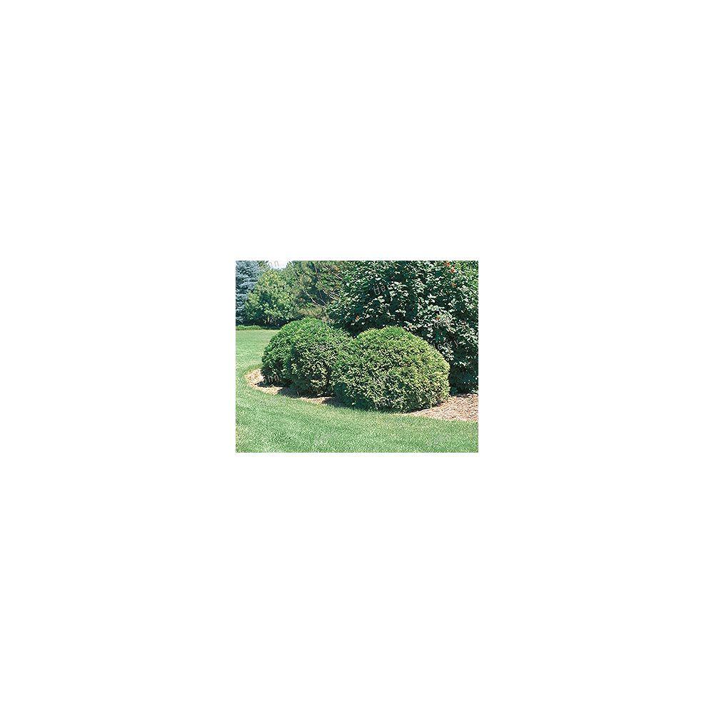 Vigoro 11.35L Globe Cedar Bush