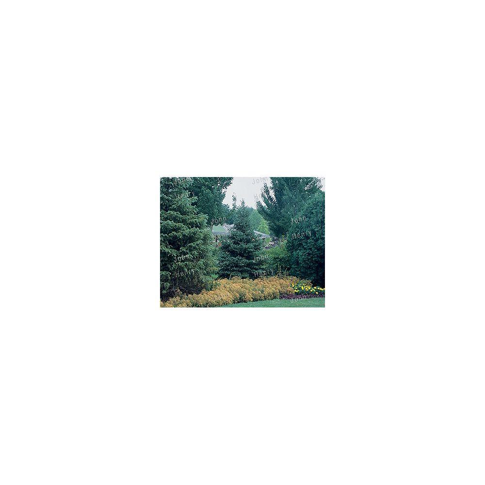 Vigoro 11.35L Spruce Tree