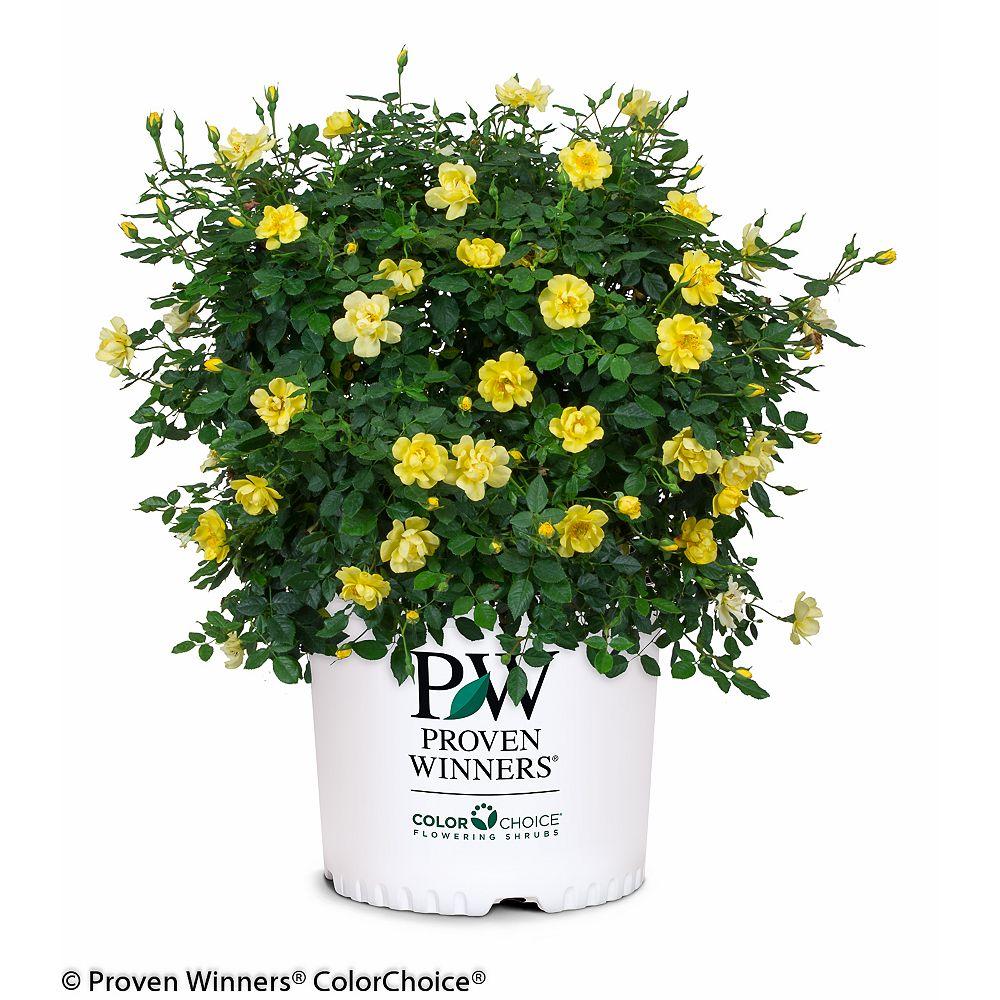 Proven Winners Rosier Rosa Oso Easy Lemon Zest de PW