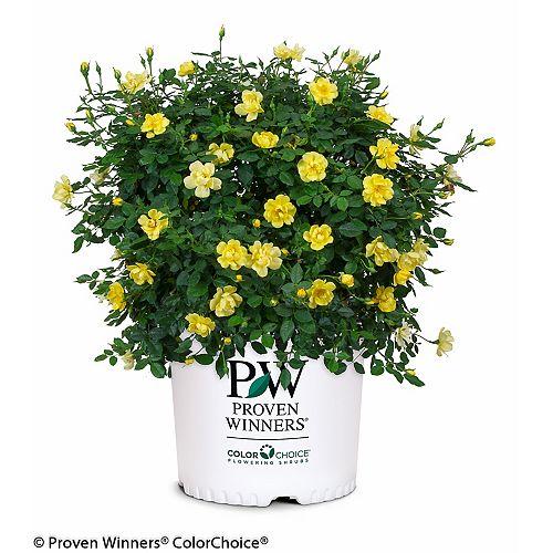 PW Rosa Oso Easy Lemon Zest Plant