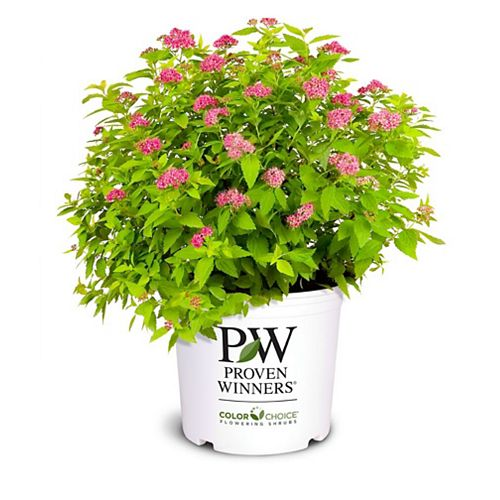 PW Golden Foliage Double Play Spirea Low-Mounded Plant