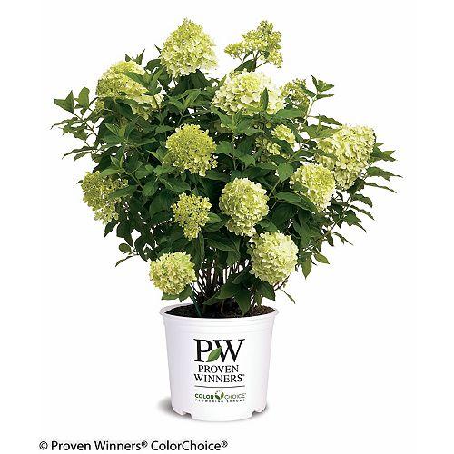Proven Winners Hortensia Limelight de PW