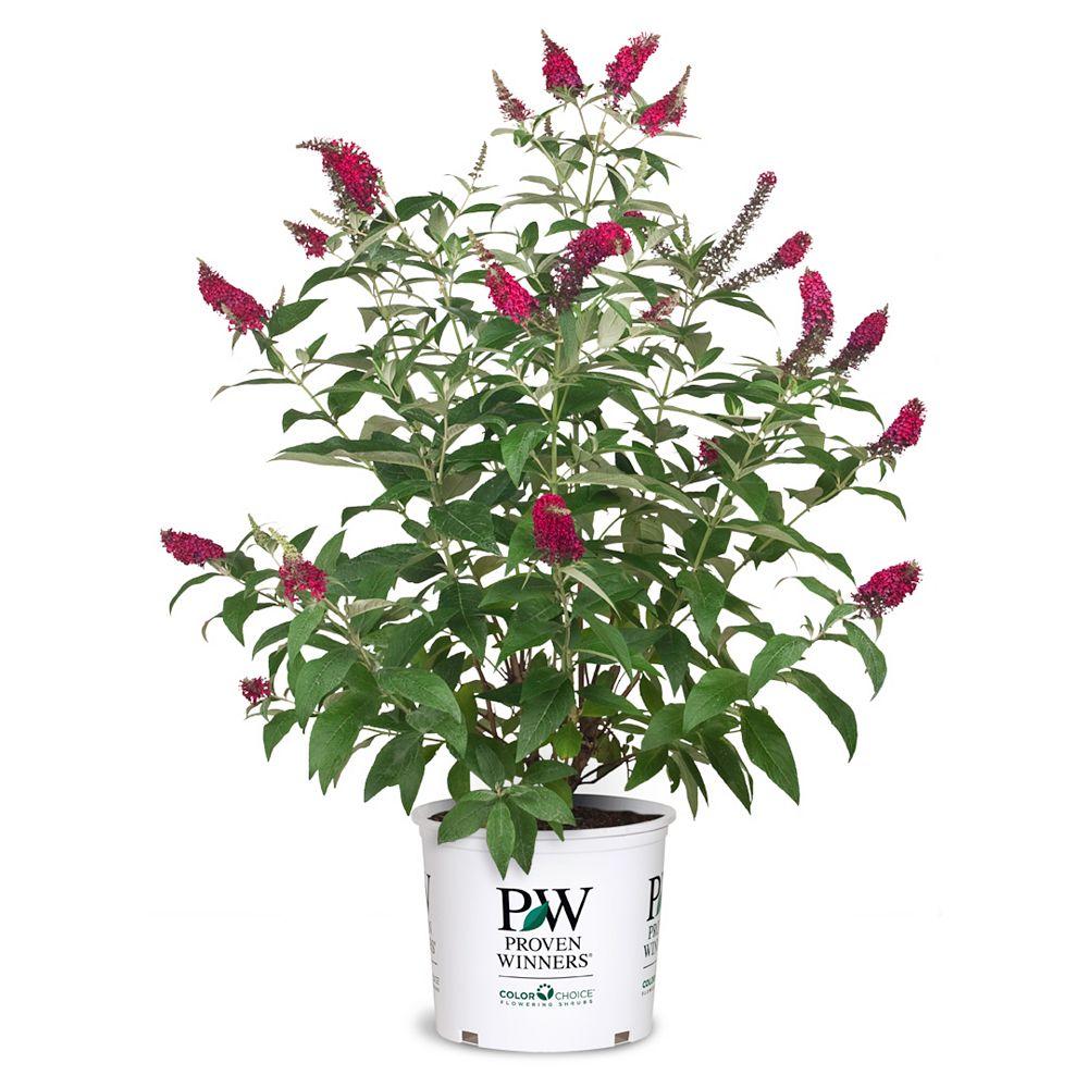 Proven Winners PW Butterfly Bush Miss Molly