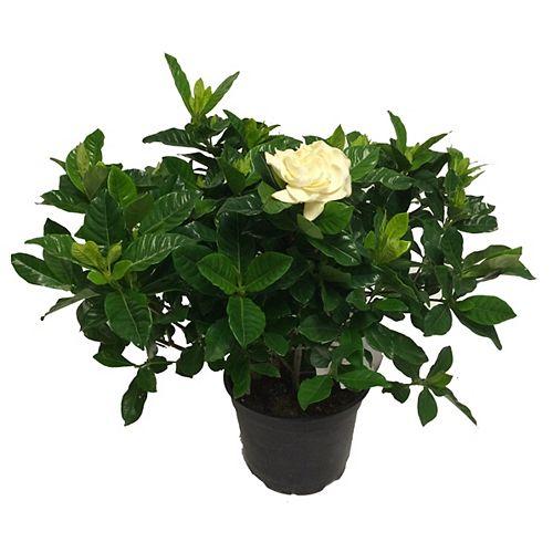 Landscape Basics 6-inch Gardenia