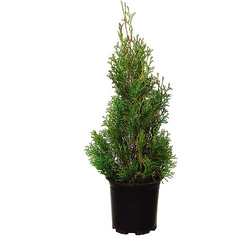 2 Gallon Brandon Cedar