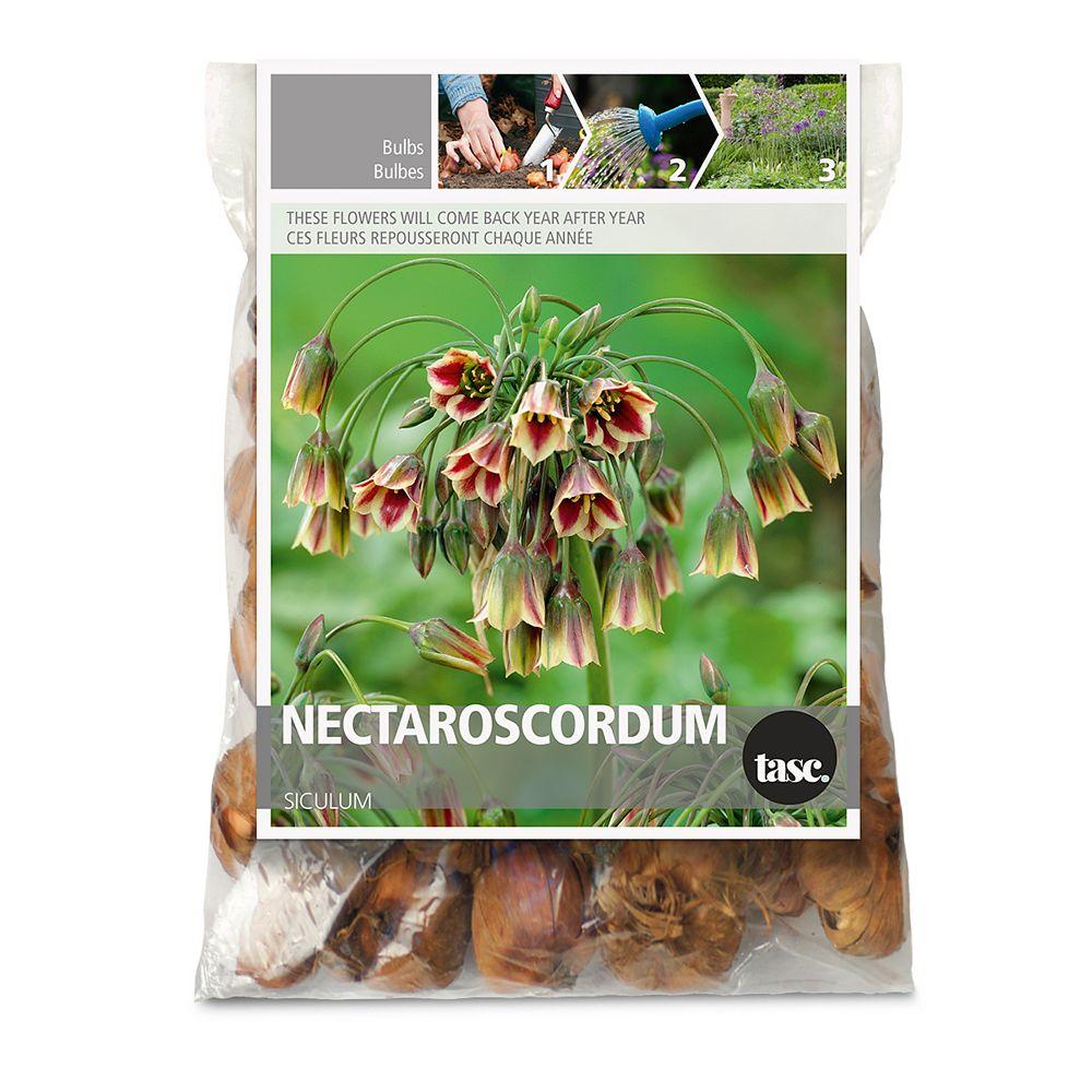 Bulbs are Easy Nectaroscordum Siculum Flower Bulbs (15-Pack)