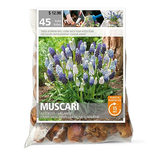Muscari Assorted