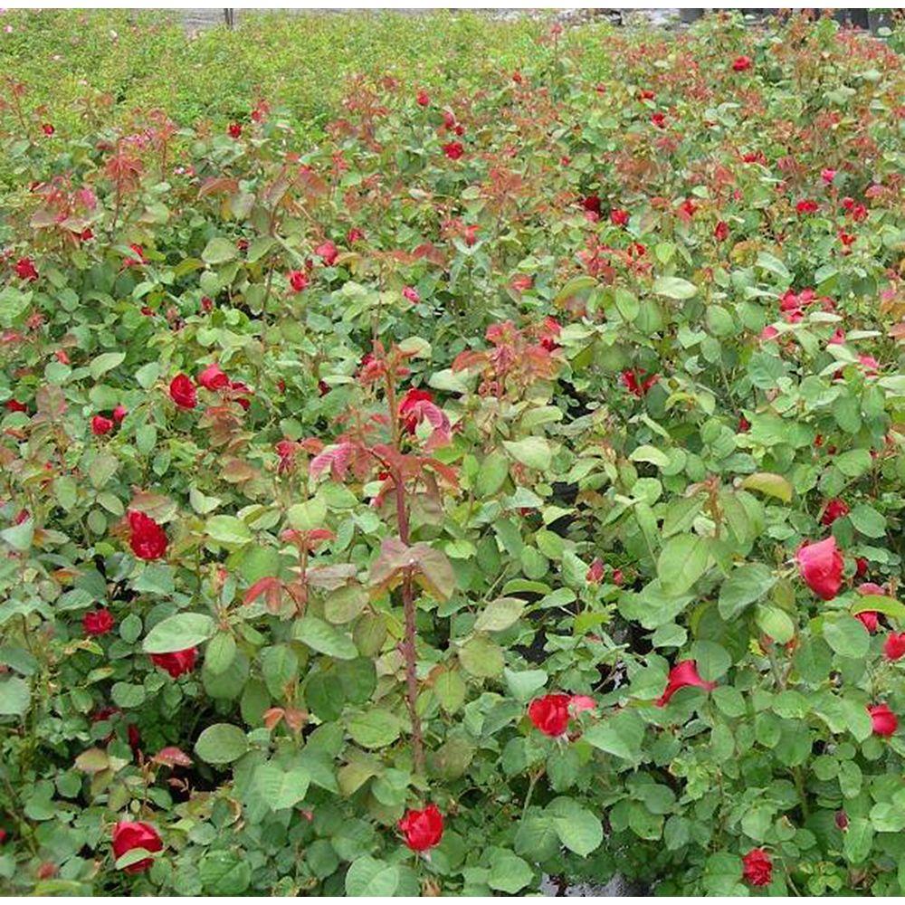Vigoro 8-inch Explorer Roses Shrub