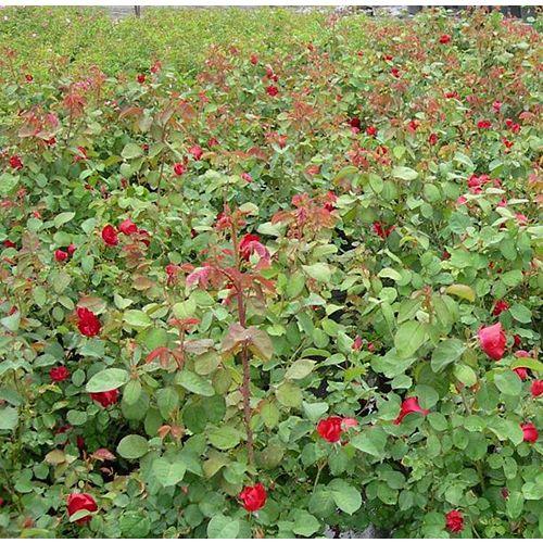 8-inch Explorer Roses Shrub