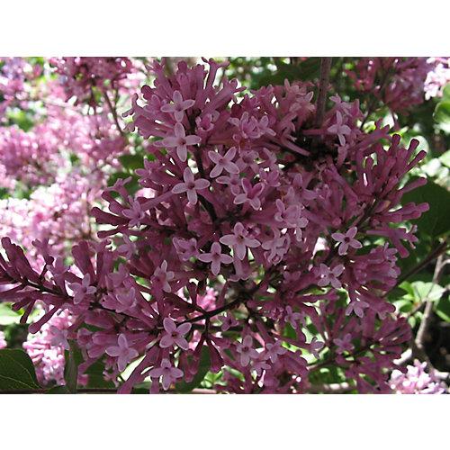 12-inch Palibin Lilac Standard Tree