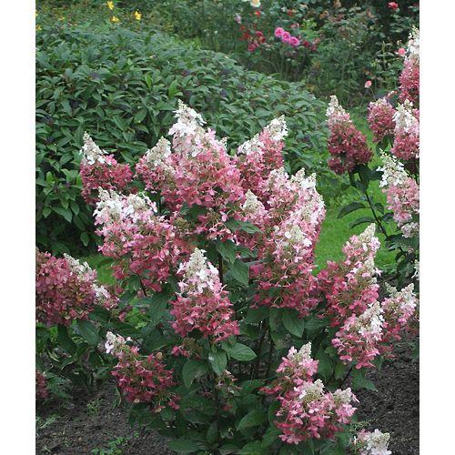 Landscape Basics Arbre 12 po Paniculata Proven Winners sur Tige